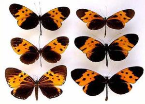 Mimétisme de Müller, papillon