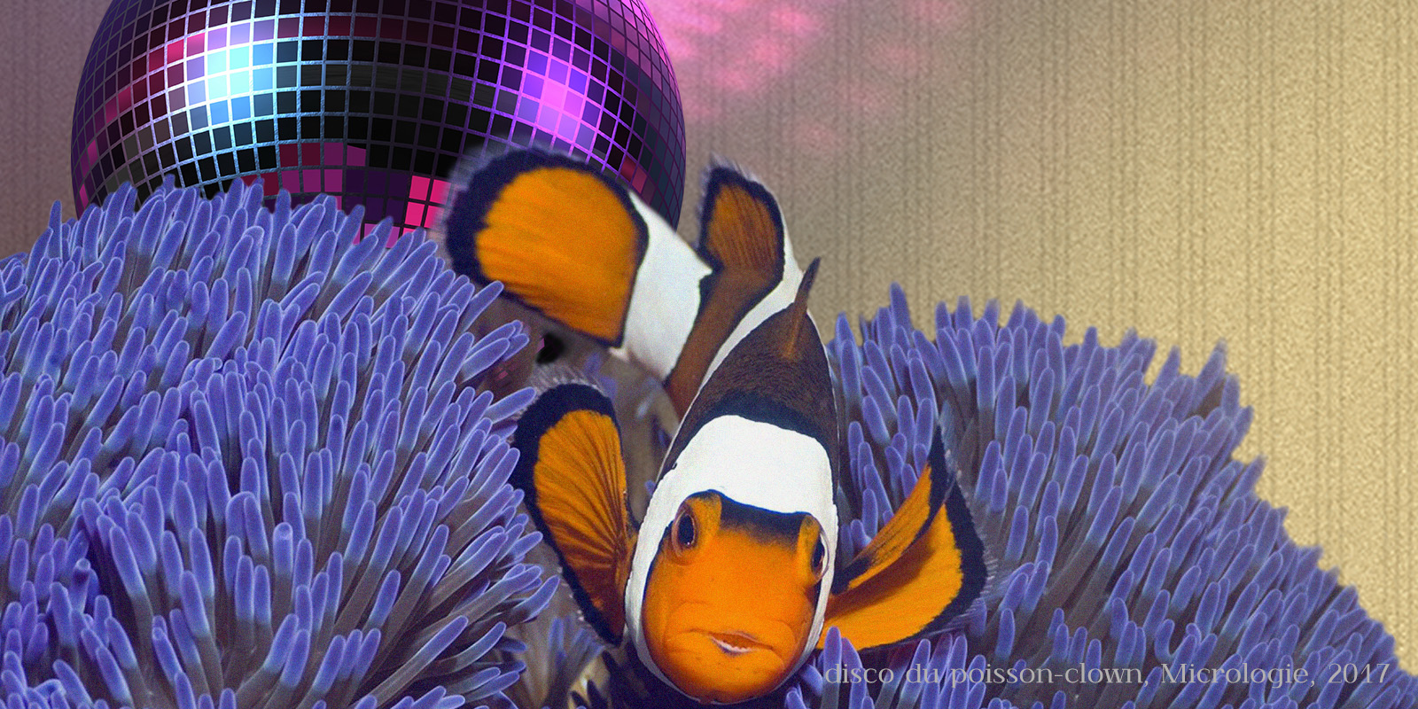 disco du poisson-clown, micrologie